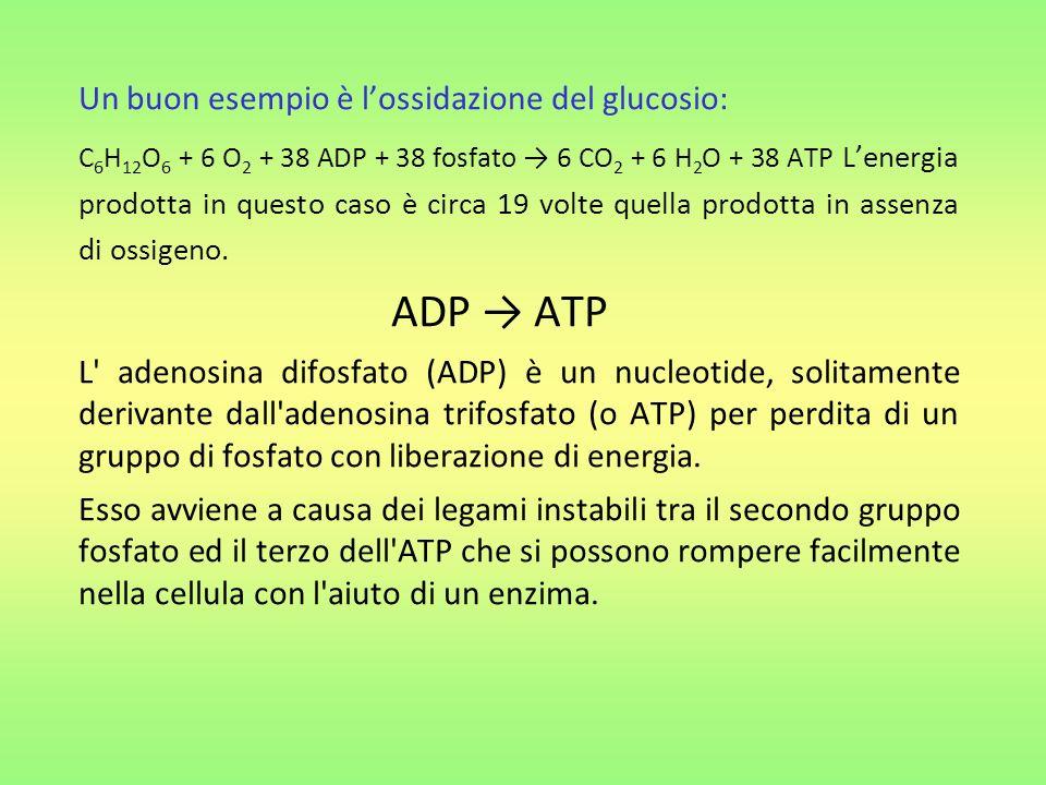 Un buon esempio è lossidazione del glucosio: C 6 H 12 O 6 + 6 O 2 + 38 ADP + 38 fosfato 6 CO 2 + 6 H 2 O + 38 ATP Lenergia prodotta in questo caso è circa 19 volte quella prodotta in assenza di ossigeno.