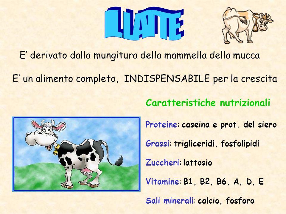 E derivato dalla mungitura della mammella della mucca Caratteristiche nutrizionali Proteine: caseina e prot. del siero Grassi: trigliceridi, fosfolipi