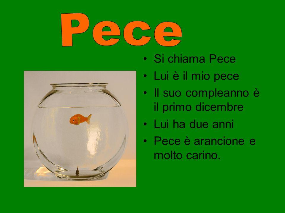 Si chiama Pece Lui è il mio pece Il suo compleanno è il primo dicembre Lui ha due anni Pece è arancione e molto carino.