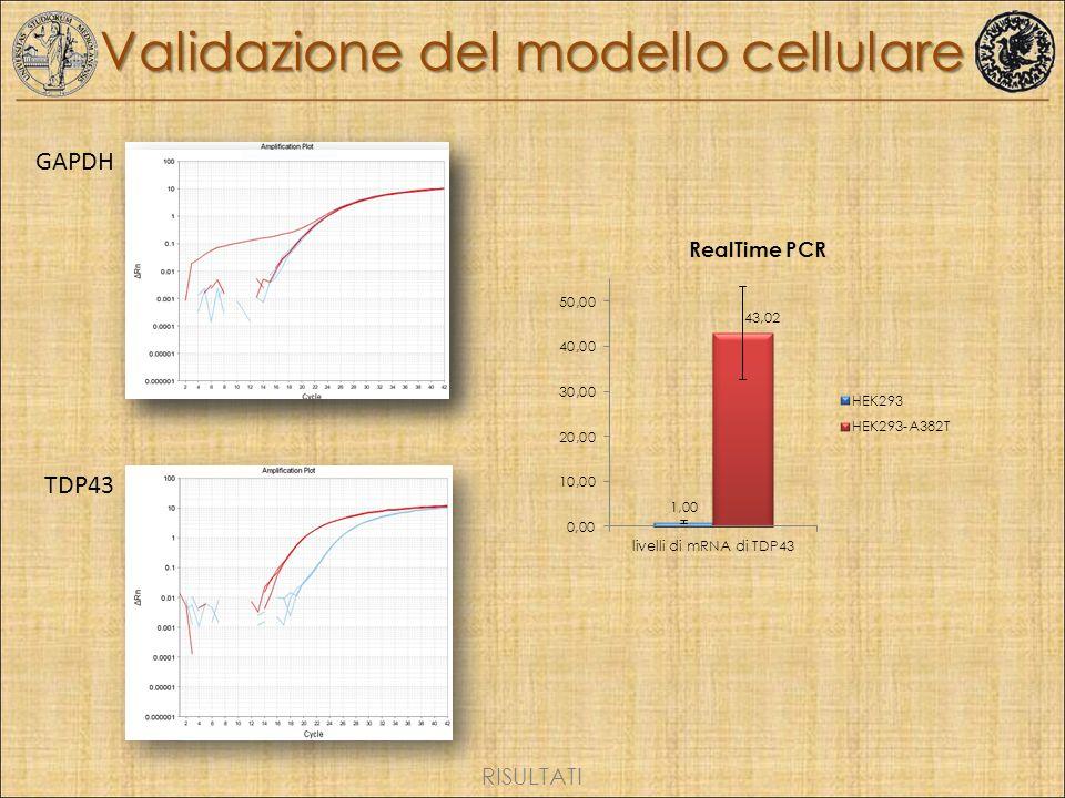 Validazione del modello cellulare GAPDH TDP43 RISULTATI