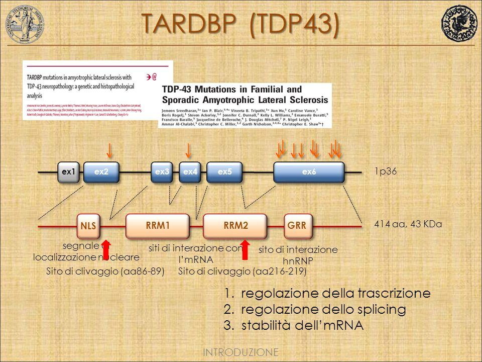1p36 1.regolazione della trascrizione 2.regolazione dello splicing 3.stabilità dellmRNA INTRODUZIONE TARDBP (TDP43) ex1ex2ex3ex4ex5ex6 RRM1RRM2GRR NLS 414 aa, 43 KDa sito di interazione hnRNP siti di interazione con lmRNA segnale di localizzazione nucleare Sito di clivaggio (aa86-89)Sito di clivaggio (aa216-219)