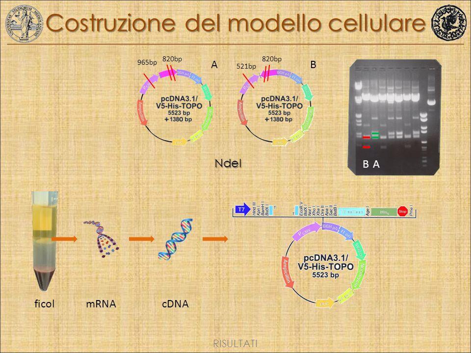 c.1144G>A p.Ala382Thr Costruzione del modello cellulare ficol mRNA cDNA AB AB 820bp 965bp 820bp 521bpNdeI RISULTATI