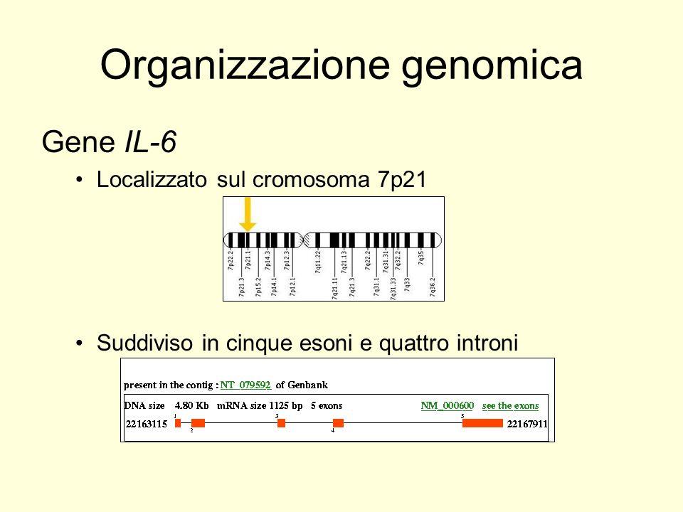 Organizzazione genomica Gene IL-6 Localizzato sul cromosoma 7p21 Suddiviso in cinque esoni e quattro introni