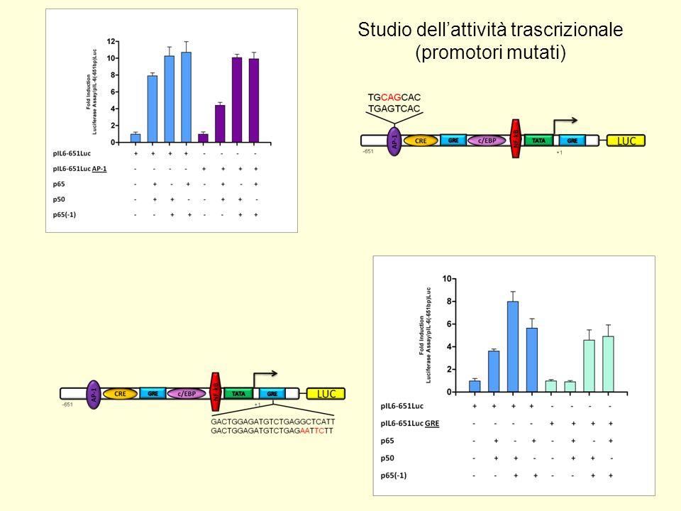 …… Concludendo 1.La proteina p65(-1) interagisce con le proteine p65 e p50.