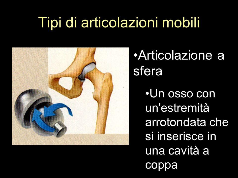 Tipi di articolazioni mobili Articolazione a sfera Un osso con un'estremità arrotondata che si inserisce in una cavità a coppa