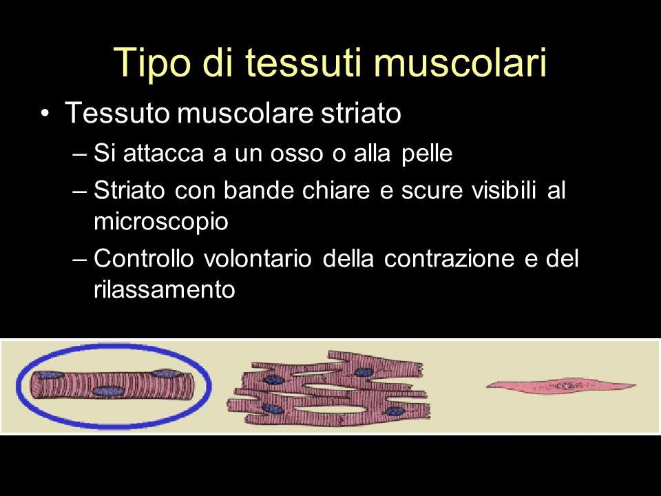 Tipo di tessuti muscolari Tessuto muscolare striato –Si attacca a un osso o alla pelle –Striato con bande chiare e scure visibili al microscopio –Cont