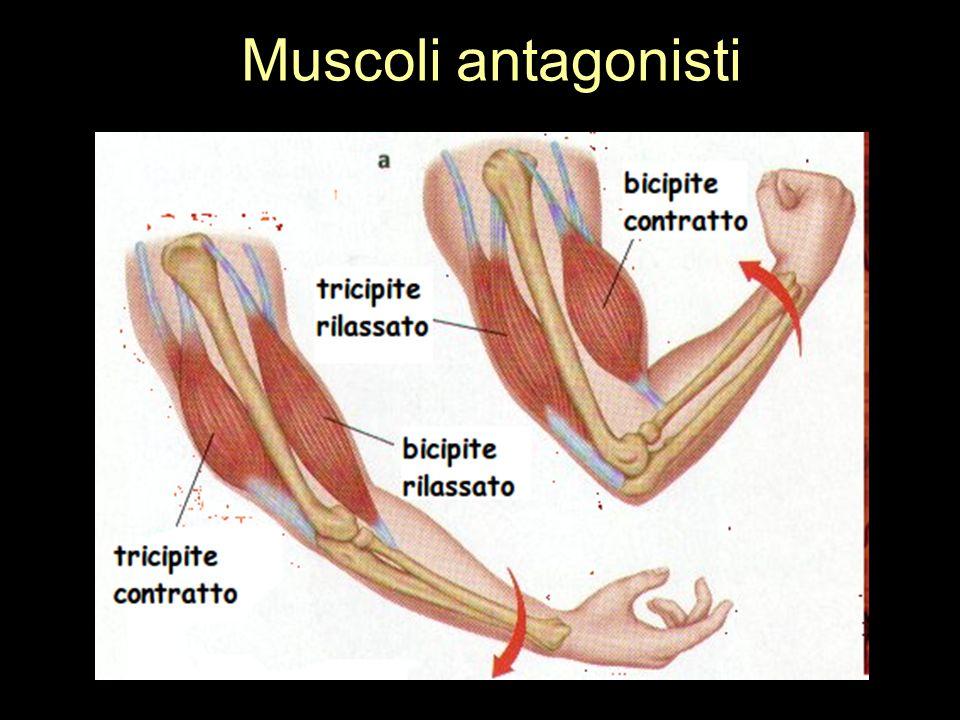 Muscoli antagonisti