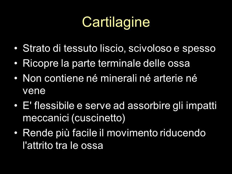 Cartilagine Strato di tessuto liscio, scivoloso e spesso Ricopre la parte terminale delle ossa Non contiene né minerali né arterie né vene E' flessibi