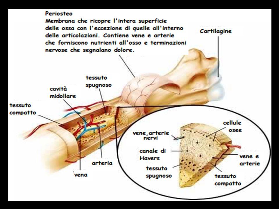 Tipo di tessuti muscolari Tessuto muscolare striato –Si attacca a un osso o alla pelle –Striato con bande chiare e scure visibili al microscopio –Controllo volontario della contrazione e del rilassamento