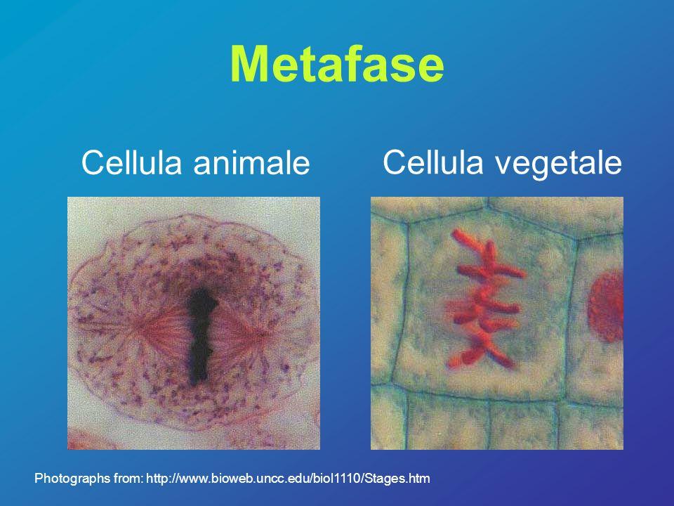 Metafase Cellula animale Cellula vegetale Photographs from: http://www.bioweb.uncc.edu/biol1110/Stages.htm