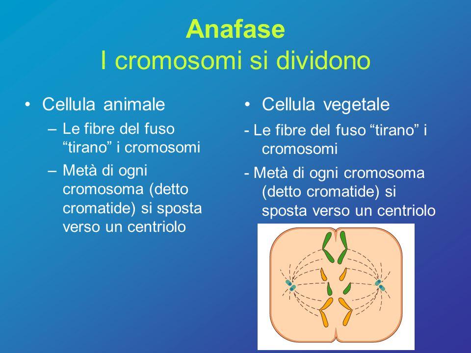 Anafase I cromosomi si dividono Cellula animale –Le fibre del fuso tirano i cromosomi –Metà di ogni cromosoma (detto cromatide) si sposta verso un cen