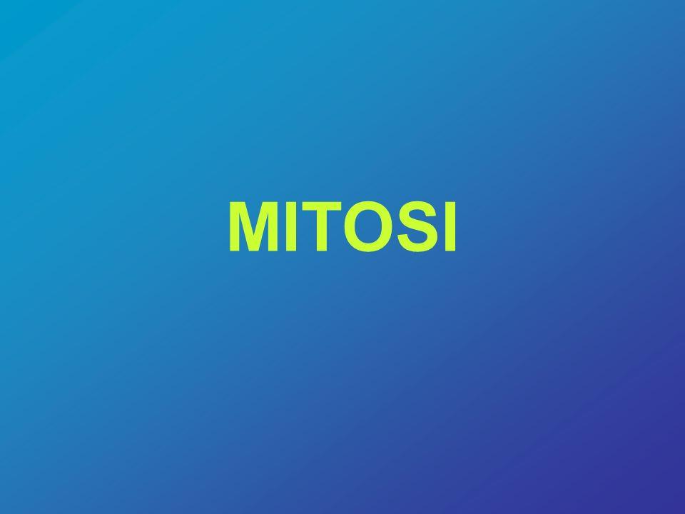 Mitosi E il processo della divisione cellulare in cui si ha la produzione di due cellule figlie da una singola cellula iniziale.