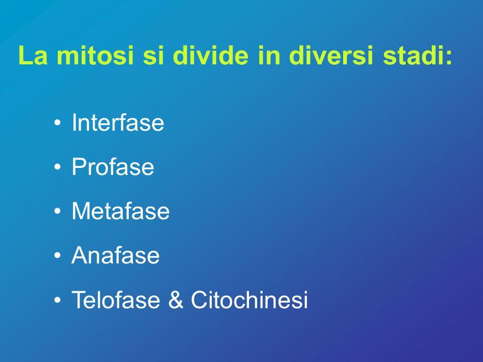 Interfase Le cellule si preparano per la divisione Cellula animale –DNA si replica –Gli organelli si replicano –La cellula aumenta di dimensione Cellula vegetale –DNA si replica –Gli organelli si replicano –La cellula aumenta di dimensione