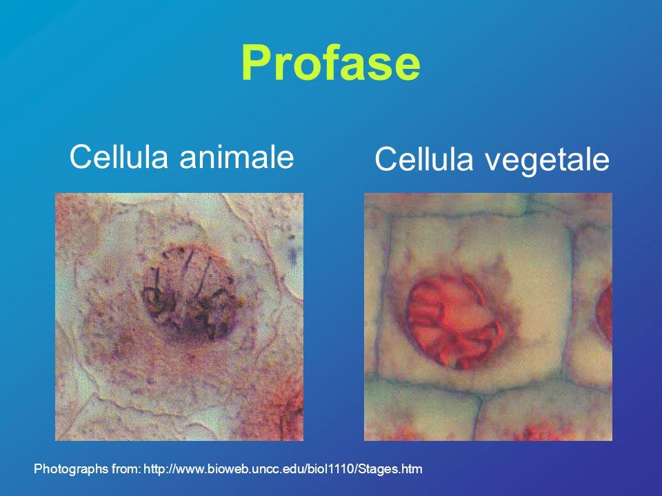 Metafase La cellula prepara i cromosomi alla divisione Cellula animale –I cromosomi si allineano al centro della cellula –Si forma il fuso mitotico a partire dai centrioli Cellula vegetale - I cromosomi si allineano al centro della cellula - Si forma il fuso mitotico a partire dai centrioli