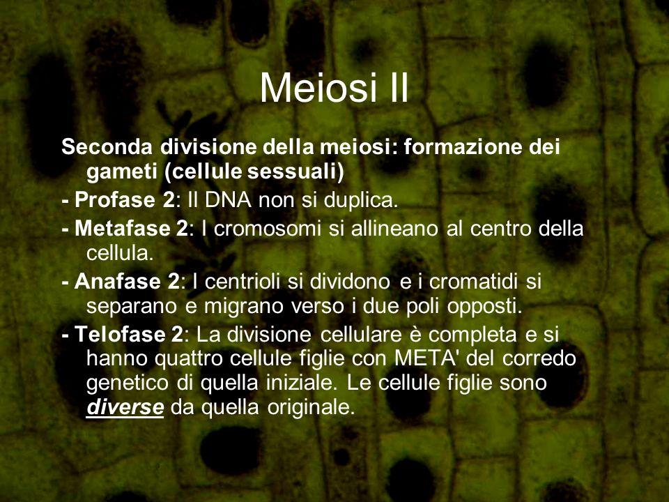 Meiosi II Seconda divisione della meiosi: formazione dei gameti (cellule sessuali) - Profase 2: Il DNA non si duplica. - Metafase 2: I cromosomi si al