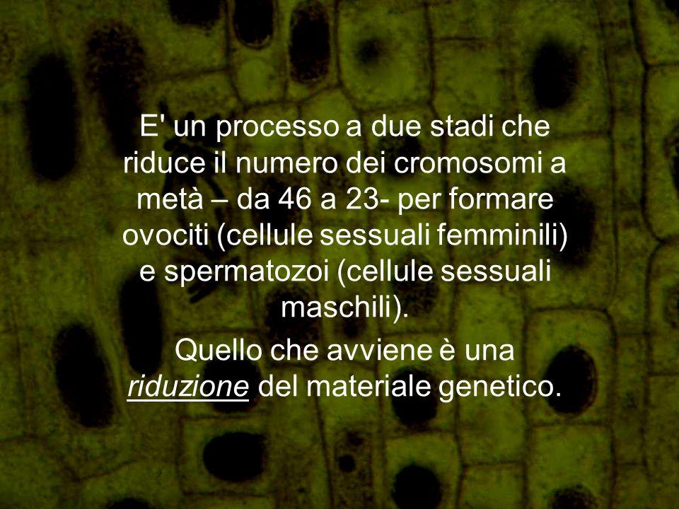 E' un processo a due stadi che riduce il numero dei cromosomi a metà – da 46 a 23- per formare ovociti (cellule sessuali femminili) e spermatozoi (cel
