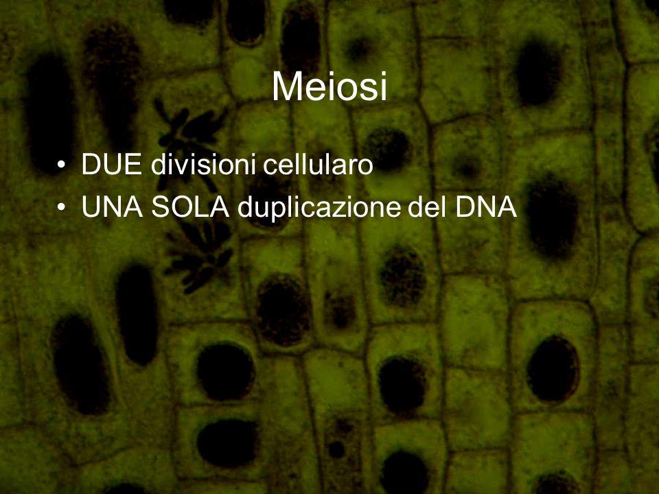 Meiosi DUE divisioni cellularo UNA SOLA duplicazione del DNA