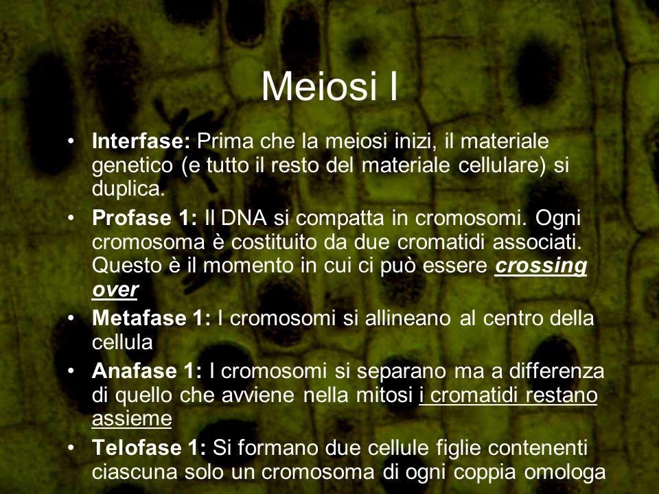Meiosi I Interfase: Prima che la meiosi inizi, il materiale genetico (e tutto il resto del materiale cellulare) si duplica. Profase 1: Il DNA si compa