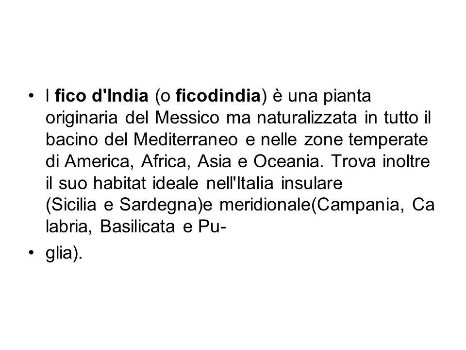 l fico d'India (o ficodindia) è una pianta originaria del Messico ma naturalizzata in tutto il bacino del Mediterraneo e nelle zone temperate di Ameri