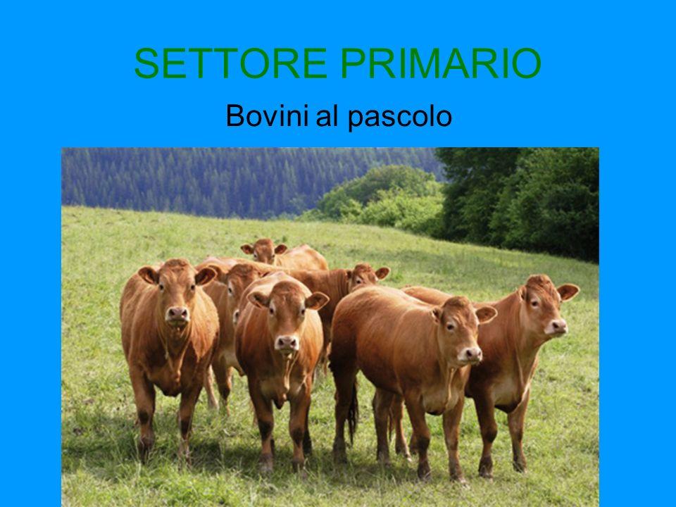 SETTORE PRIMARIO Bovini al pascolo