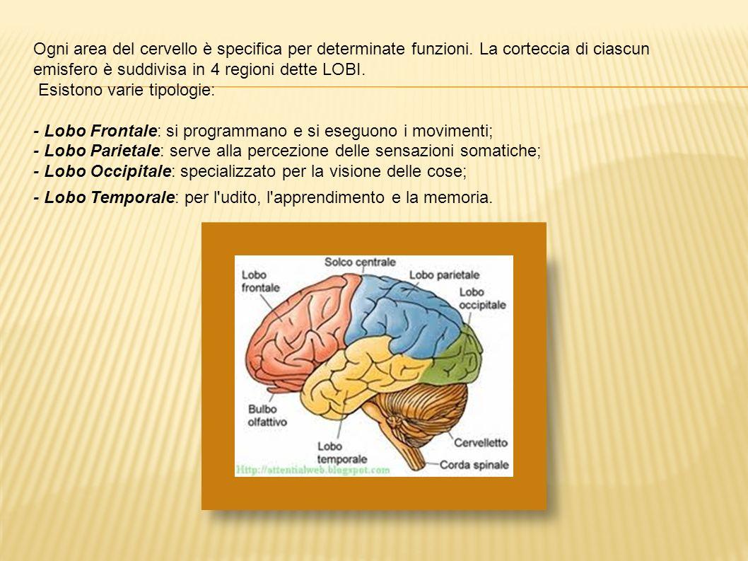 Ogni area del cervello è specifica per determinate funzioni. La corteccia di ciascun emisfero è suddivisa in 4 regioni dette LOBI. Esistono varie tipo