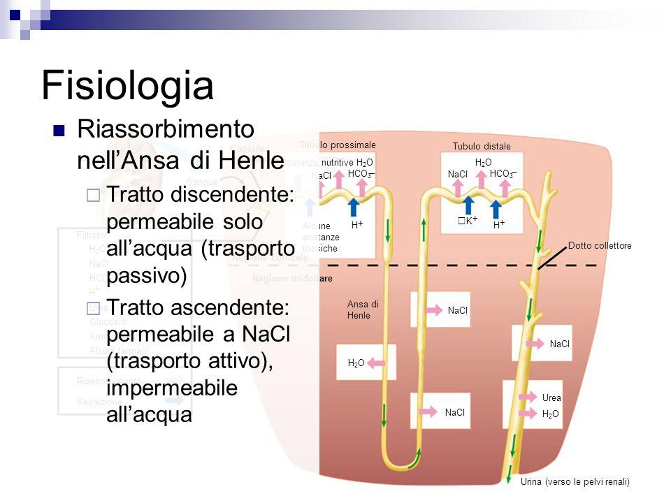 Sangue Capsula di Bowman Tubulo prossimale Tubulo distale NaCI – HCO 3 Sostanze nutritive H 2 O Alcune sostanze tossiche + H Regione corticale NaCI – HCO 3 H2OH2O + H + K Dotto collettore Ansa di Henle NaCI Urea H2OH2O H2OH2O Urina (verso le pelvi renali) Regione midollare Filtrato: H 2 O NaCI HCO 3 H Urea Glucosio Amminoacidi Alcuni farmaci + – Riassorbimento Secrezione Fisiologia Riassorbimento nellAnsa di Henle Tratto discendente: permeabile solo allacqua (trasporto passivo) Tratto ascendente: permeabile a NaCl (trasporto attivo), impermeabile allacqua