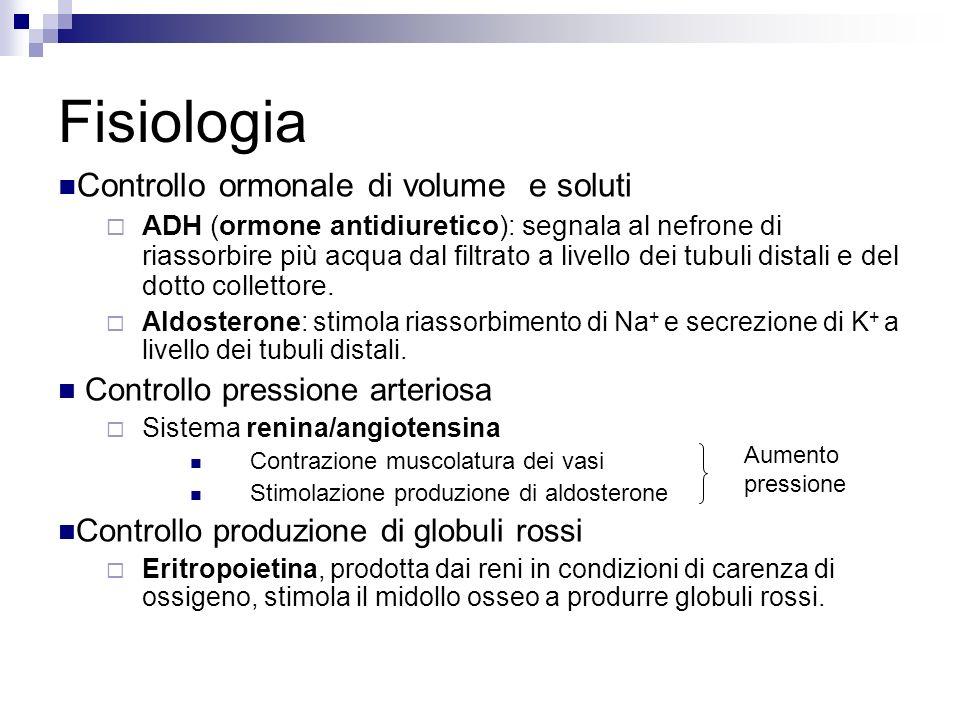 Controllo ormonale di volume e soluti ADH (ormone antidiuretico) : segnala al nefrone di riassorbire più acqua dal filtrato a livello dei tubuli distali e del dotto collettore.