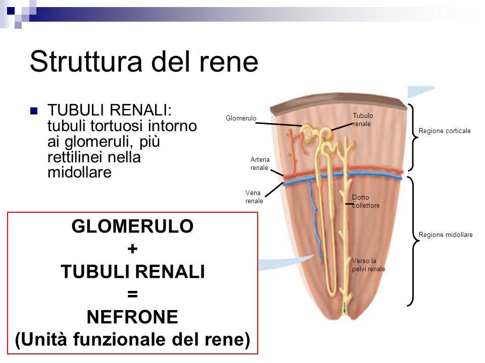 Struttura del rene TUBULI RENALI: tubuli tortuosi intorno ai glomeruli, più rettilinei nella midollare Glomerulo Arteria renale Vena renale Tubulo renale Dotto collettore Verso la pelvi renale Regione corticale Regione midollare GLOMERULO + TUBULI RENALI = NEFRONE (Unità funzionale del rene)