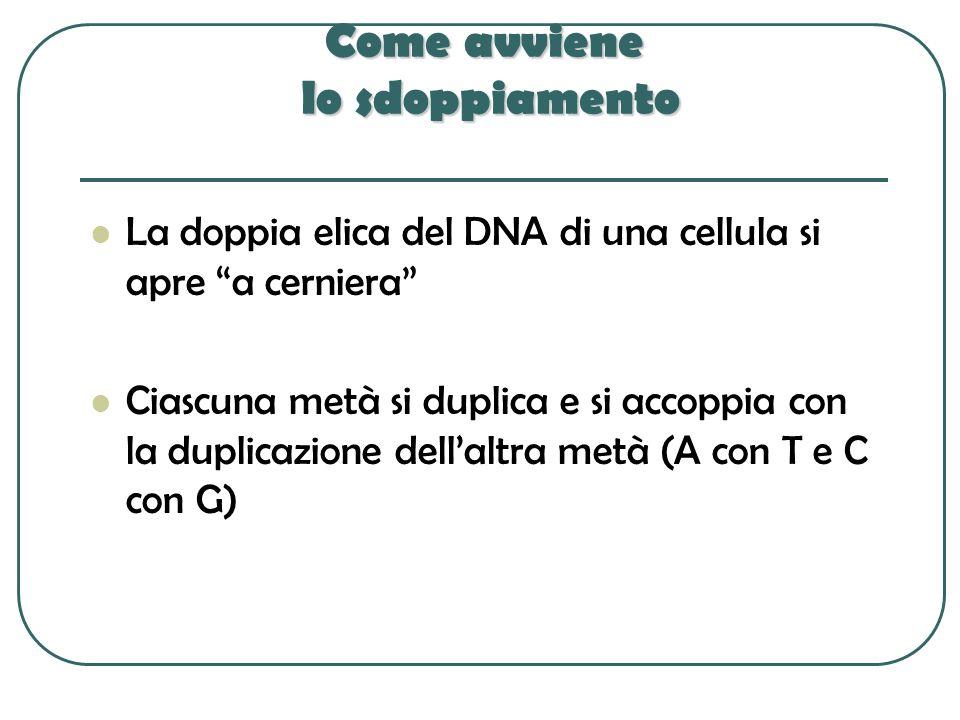 Come avviene lo sdoppiamento La doppia elica del DNA di una cellula si apre a cerniera Ciascuna metà si duplica e si accoppia con la duplicazione dell