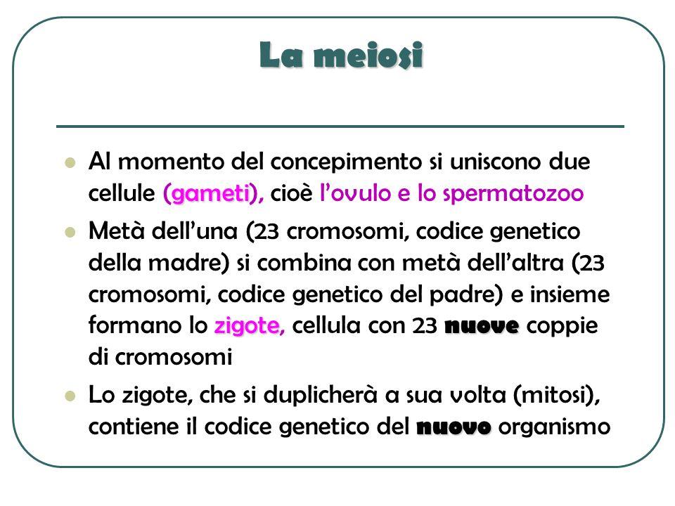 La meiosi gameti Al momento del concepimento si uniscono due cellule (gameti), cioè lovulo e lo spermatozoo zigote nuove Metà delluna (23 cromosomi, c