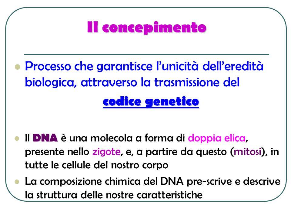 Il concepimento Processo che garantisce lunicità delleredità biologica, attraverso la trasmissione del codice genetico DNA Il DNA è una molecola a for