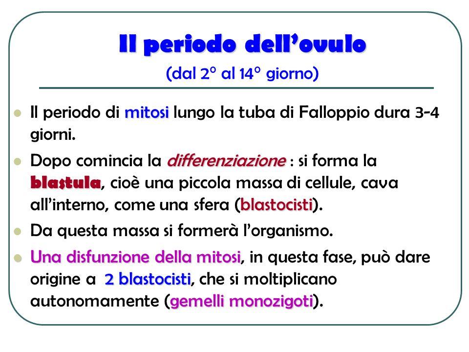 Il periodo dellovulo Il periodo dellovulo (dal 2° al 14° giorno) mitosi Il periodo di mitosi lungo la tuba di Falloppio dura 3-4 giorni. differenziazi