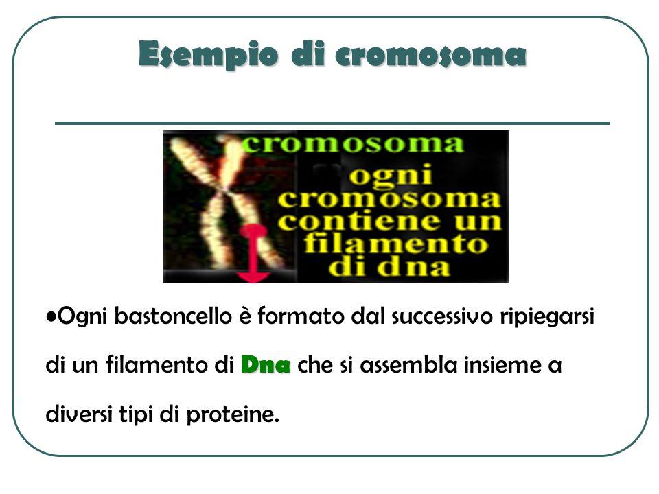 Esempio di cromosoma DnaOgni bastoncello è formato dal successivo ripiegarsi di un filamento di Dna che si assembla insieme a diversi tipi di proteine