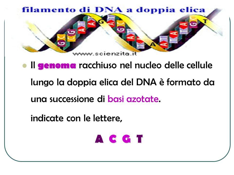 genoma Il genoma racchiuso nel nucleo delle cellule lungo la doppia elica del DNA è formato da una successione di basi azotate. indicate con le letter