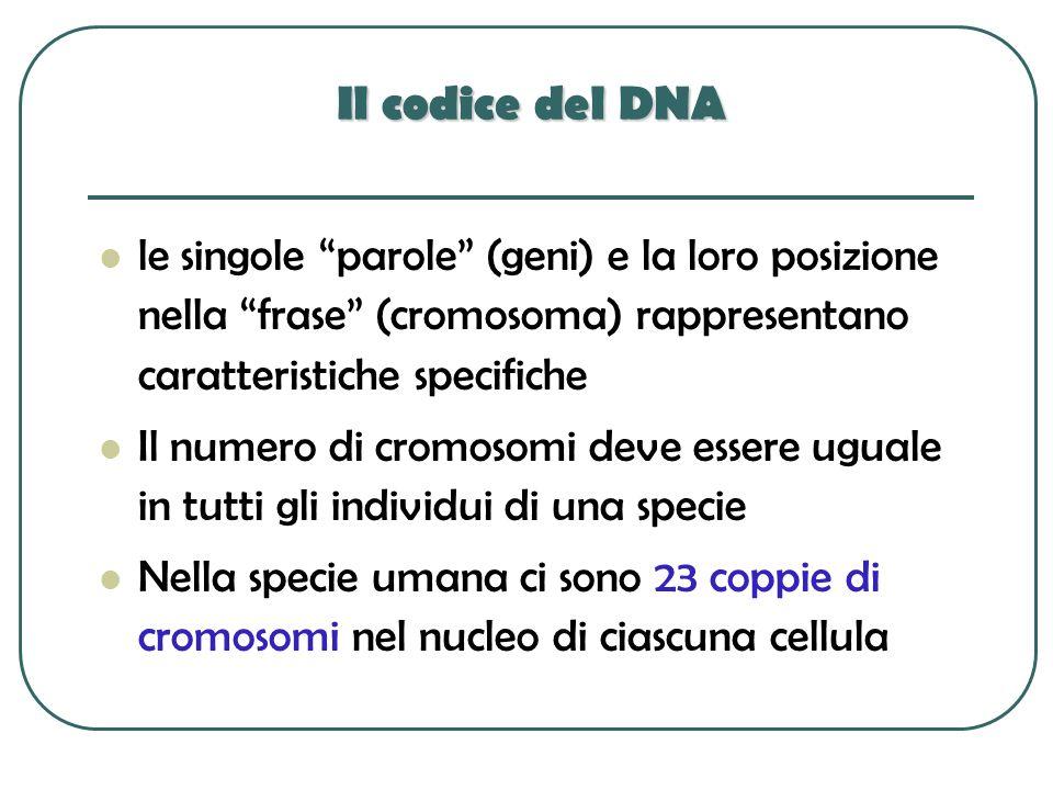 Il codice del DNA le singole parole (geni) e la loro posizione nella frase (cromosoma) rappresentano caratteristiche specifiche Il numero di cromosomi