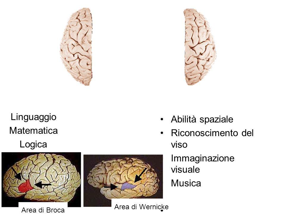 Linguaggio Matematica Logica Abilità spaziale Riconoscimento del viso Immaginazione visuale Musica Area di Broca Area di Wernicke
