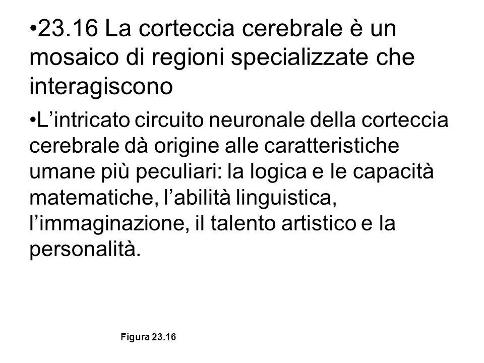 23.16 La corteccia cerebrale è un mosaico di regioni specializzate che interagiscono Lintricato circuito neuronale della corteccia cerebrale dà origin