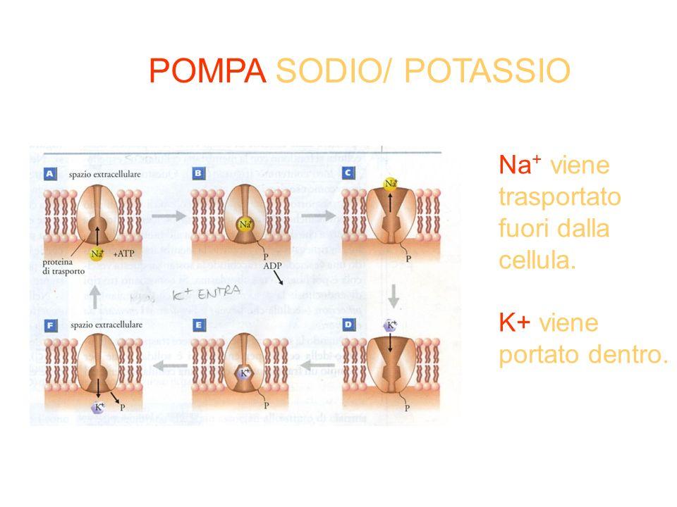 POMPA SODIO/ POTASSIO Na + viene trasportato fuori dalla cellula. K+ viene portato dentro.