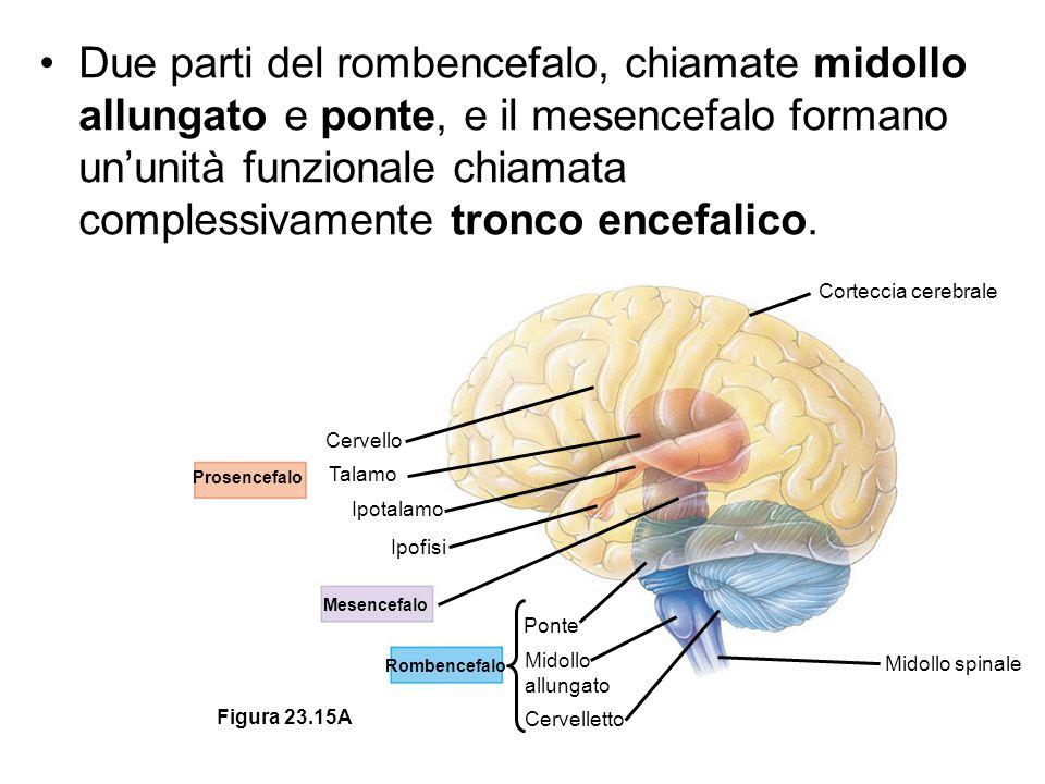 Prosencefalo Mesencefalo Rombencefalo Cervello Talamo Ipotalamo Ipofisi Ponte Midollo allungato Cervelletto Midollo spinale Corteccia cerebrale Figura