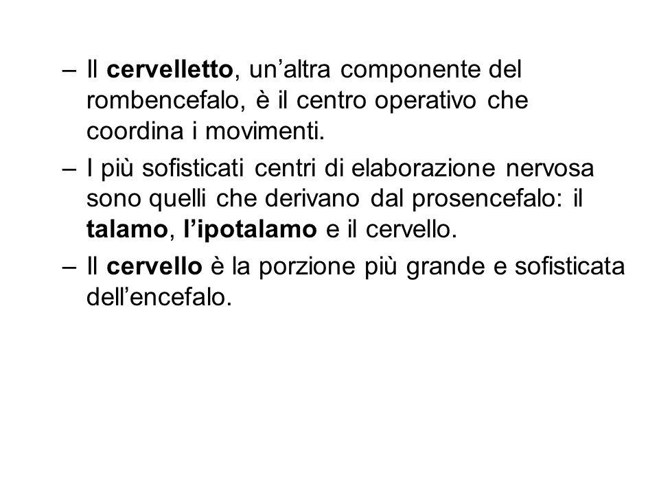 –Il cervelletto, unaltra componente del rombencefalo, è il centro operativo che coordina i movimenti. –I più sofisticati centri di elaborazione nervos