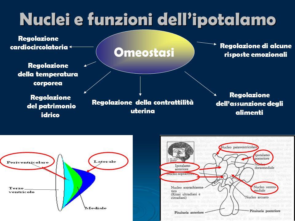 Nuclei e funzioni dellipotalamo Omeostasi Regolazione del patrimonio idrico Regolazione della contrattilità uterina Regolazione della temperatura corp