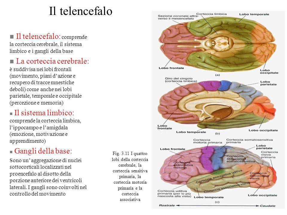 Il telencefalo n Il telencefalo: comprende la corteccia cerebrale, il sistema limbico e i gangli della base n La corteccia cerebrale: è suddivisa nei