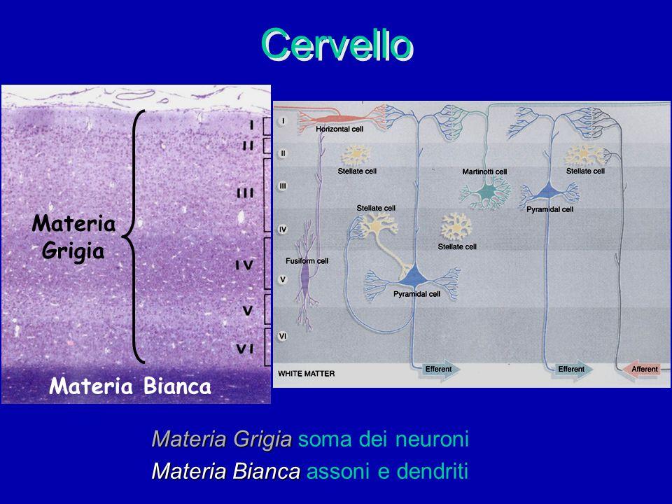 Cervello Materia Grigia Materia Grigia soma dei neuroni Materia Bianca Materia Bianca assoni e dendriti Materia Bianca Materia Grigia
