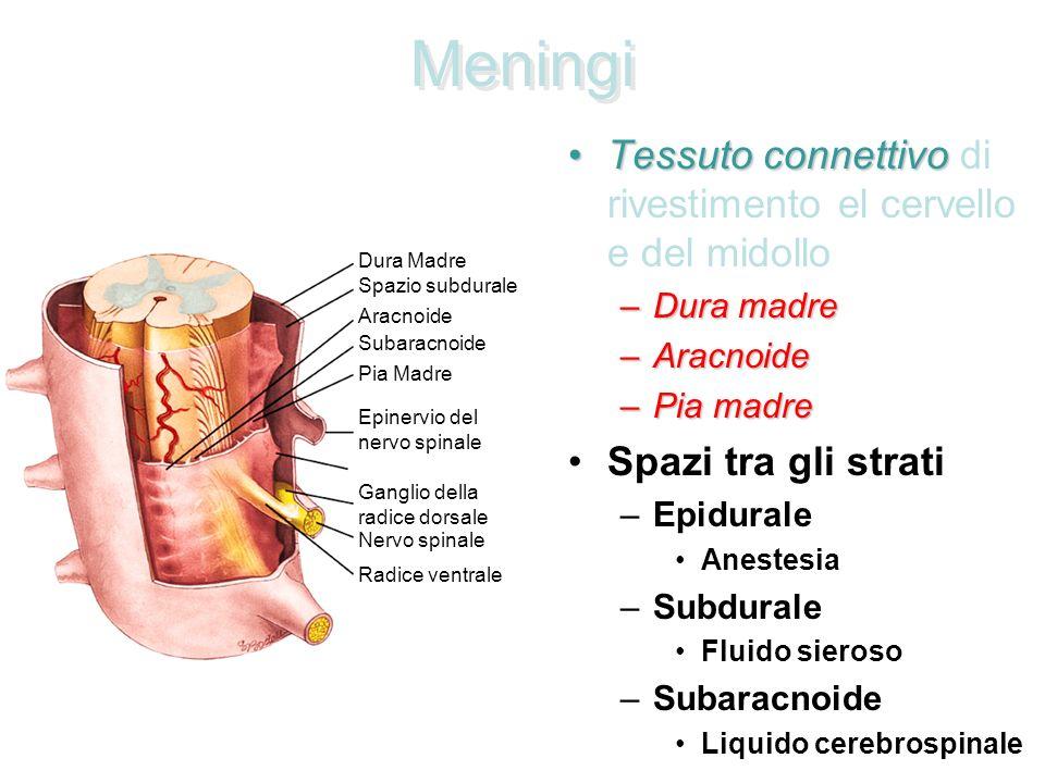Tronco, dopo dissezione degli emisferi cerebrali (proiezione posterolaterale)