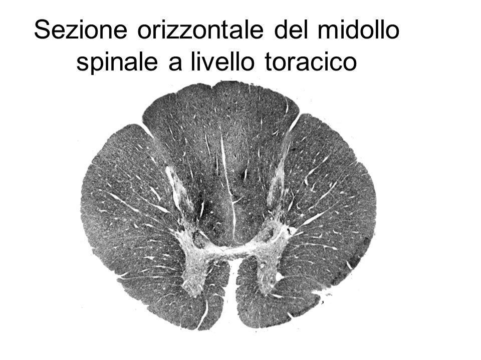 Sezione orizzontale del midollo spinale a livello toracico