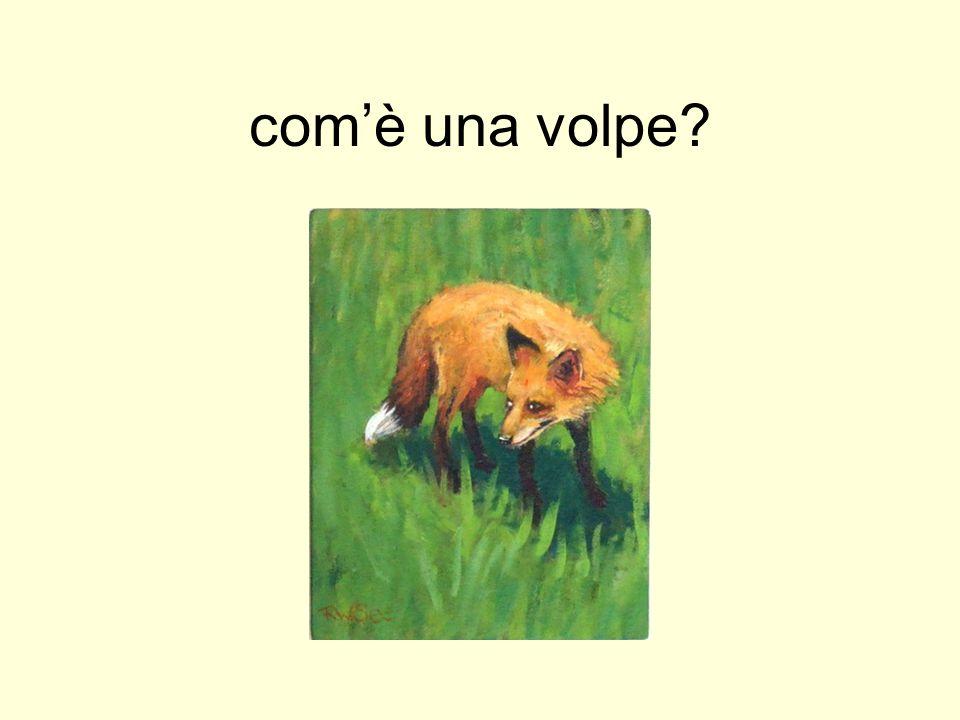 comè una volpe?