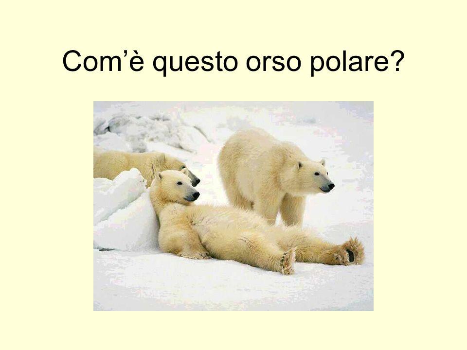 Comè questo orso polare