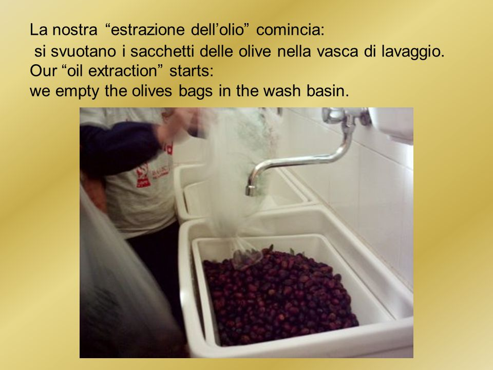 La nostra estrazione dellolio comincia: si svuotano i sacchetti delle olive nella vasca di lavaggio.