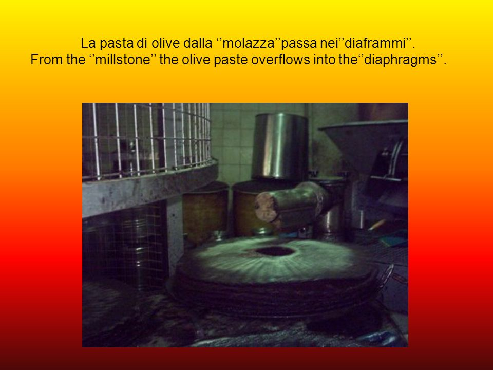 Le ruote,mole, girano instancabilmente e schiacciano le olive riducendole in pasta. The wheels,oil presses, turn around tirelessly and crush the olive
