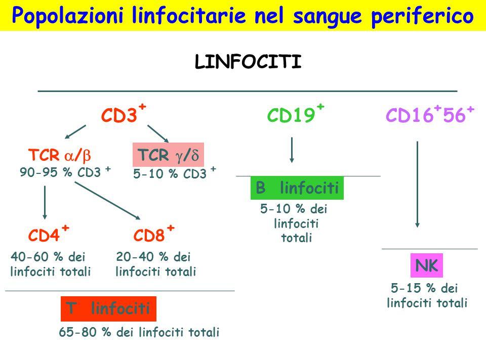 CD3CD19CD16 T linfociti B linfociti NK LINFOCITI TCR / CD4CD8 90-95 % CD3 5-10 % CD3 5-10 % dei linfociti totali + 5-15 % dei linfociti totali 65-80 %